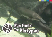 Fun Facts: The Platypus [Book Cover]